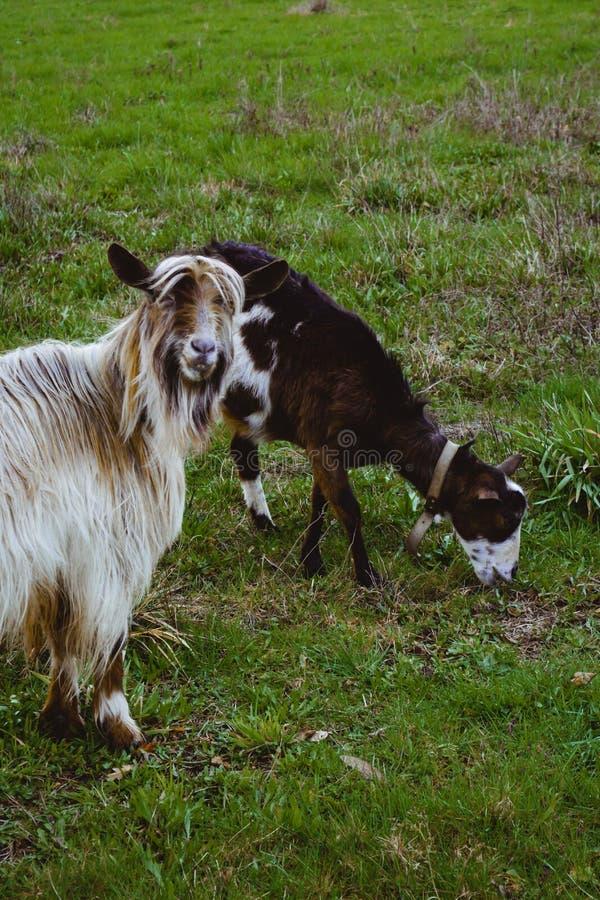 Twee gelukkige geiten stock foto