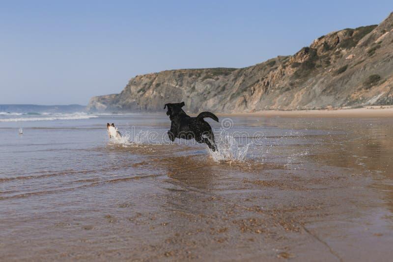 twee gelukkige honden die pret hebben bij het strand Het lopen door de overzeese kust met bezinning over het water bij zonsonderg stock foto's