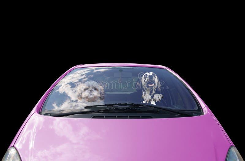 Twee gelukkige honden drijft de auto stock afbeeldingen