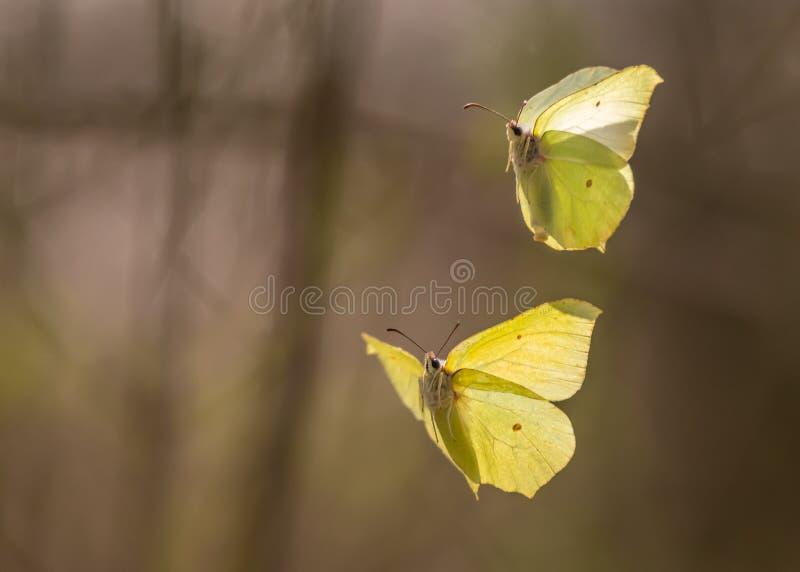 Twee gemeenschappelijke zwavel die in de lucht vliegen royalty-vrije stock afbeeldingen