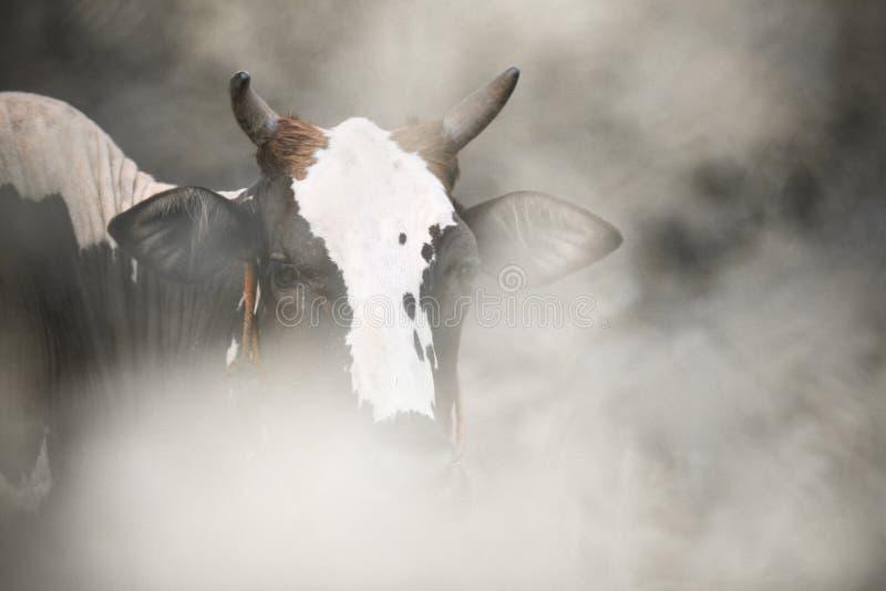 Twee-gestemde koe stock foto's