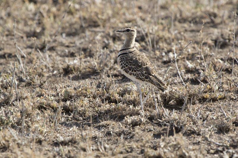 Twee-gestreepte Courser dat zich onder droog gras in savanne bevindt royalty-vrije stock afbeeldingen