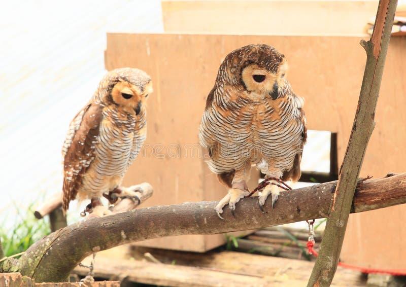 Twee getaande uilen op tak stock afbeelding