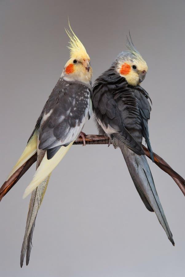 Twee gezelschapsvogels cockatiel stock afbeelding