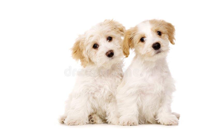Twee gezeten die puppy op een witte achtergrond worden geïsoleerde royalty-vrije stock afbeelding