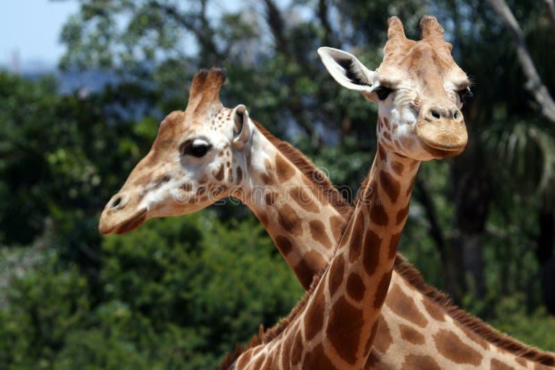 Twee giraffen royalty-vrije stock afbeeldingen