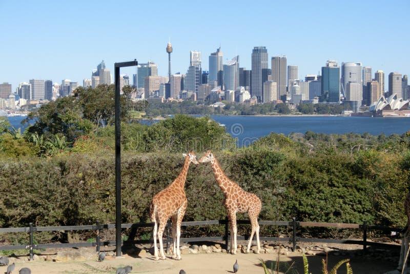 Twee giraffen die in Taronga-Dierentuin in Sydney kussen stock afbeeldingen