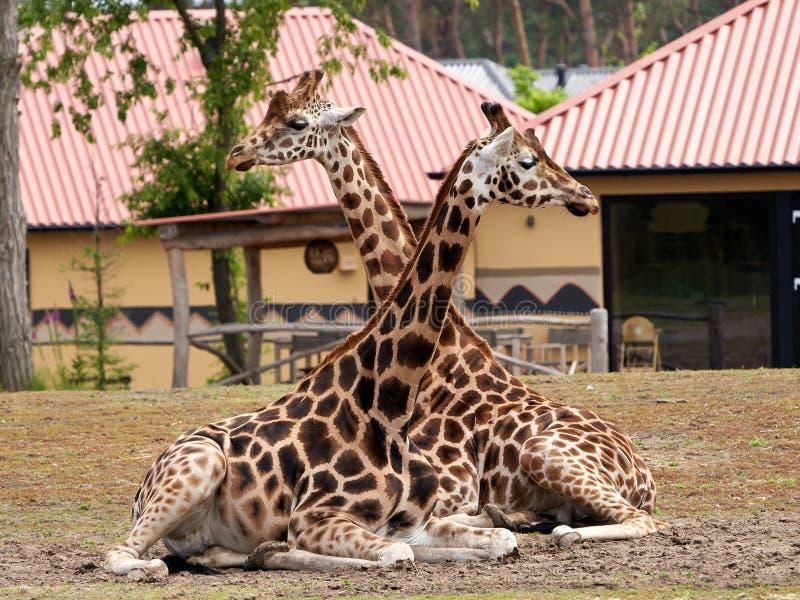 Twee giraffen rusten in het gras royalty-vrije stock afbeelding
