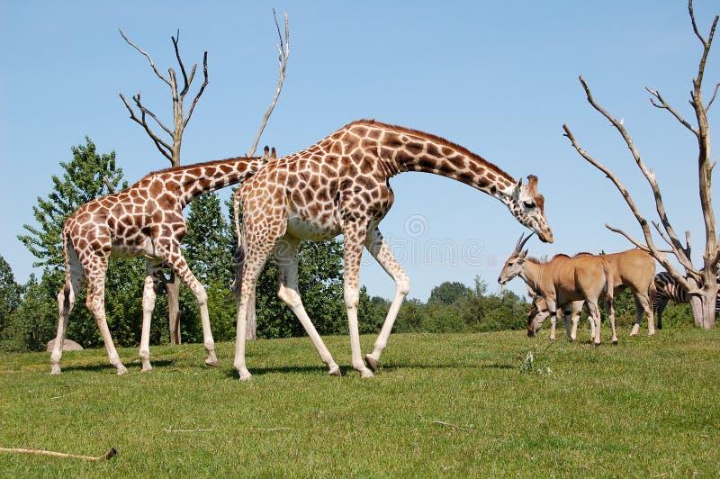Twee girafs royalty-vrije stock afbeelding