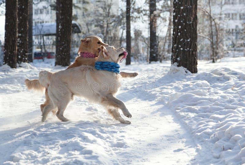 Twee Golden retriever jonge honden die in openlucht in de winter spelen royalty-vrije stock afbeelding