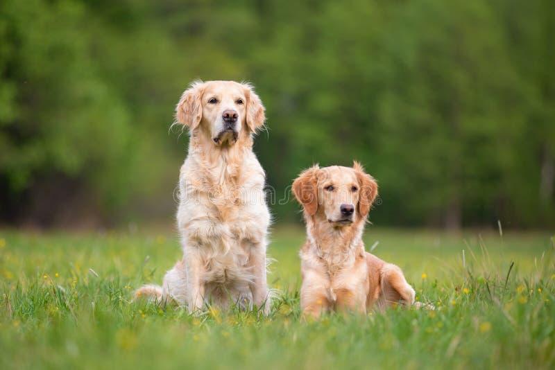 Twee Gouden Retrivers op een de lenteweide stock fotografie