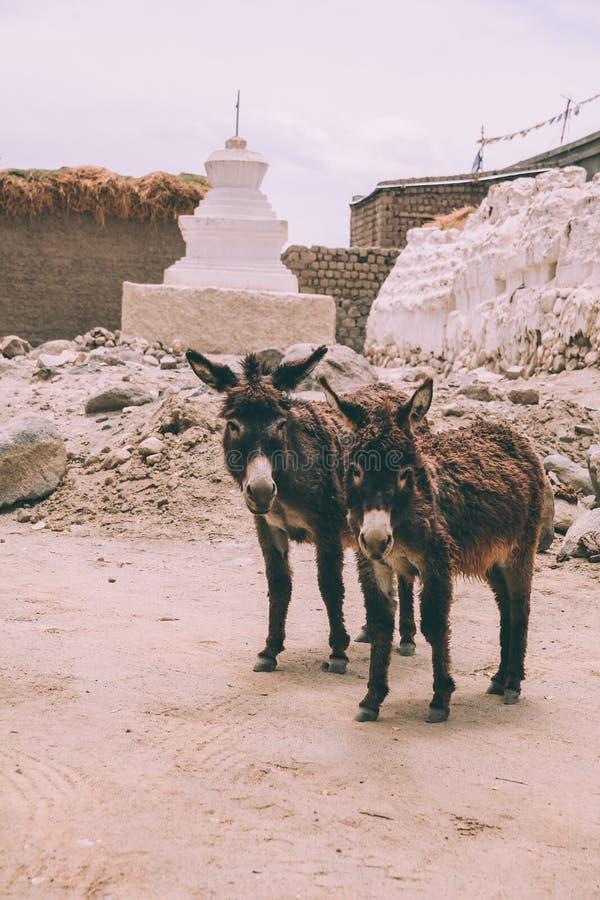 twee grappige ezels die camera bekijken terwijl status dichtbij stupa in Leh, stock foto's