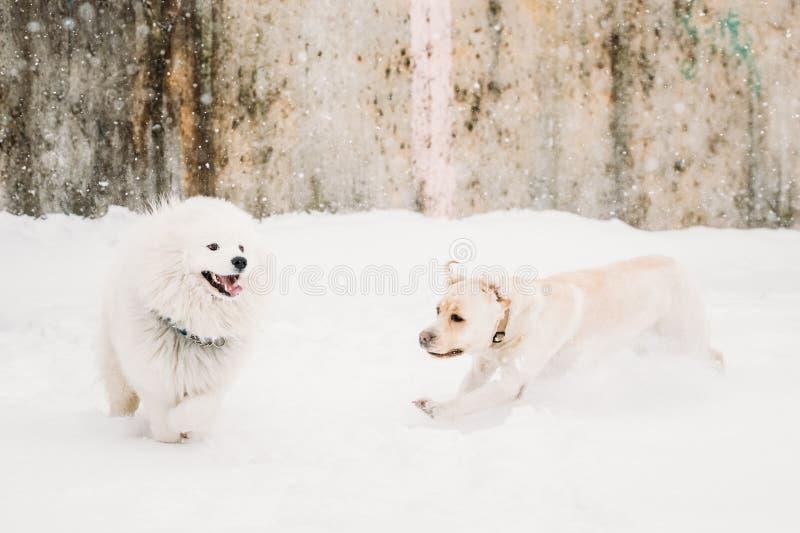 Twee Grappige Honden - en Labrador en Samoyed die Openlucht in Sneeuw lopen spelen, royalty-vrije stock foto