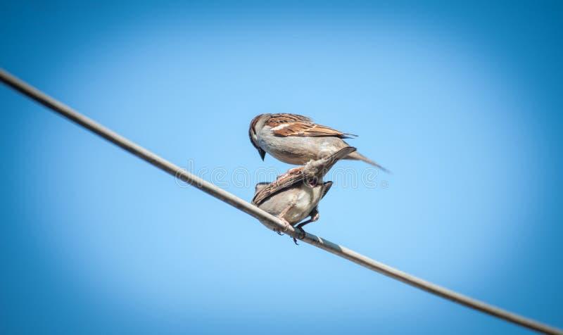 Twee grappige kleine vogelsmussen in liefdezitting op draad onder mooie blauwe hemel Een paar mussen in aard royalty-vrije stock foto