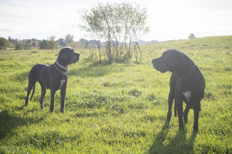 Twee Great dane-honden bij zonsondergang royalty-vrije stock foto