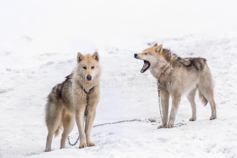 Twee greenlandic sledding honden die van Inuit zich op alarm in sno bevinden stock afbeelding