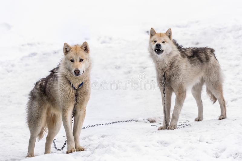 Twee greenlandic sledding honden die van Inuit zich op alarm in sno bevinden stock fotografie