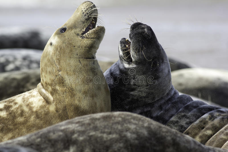 Twee Grey Seals stock foto's