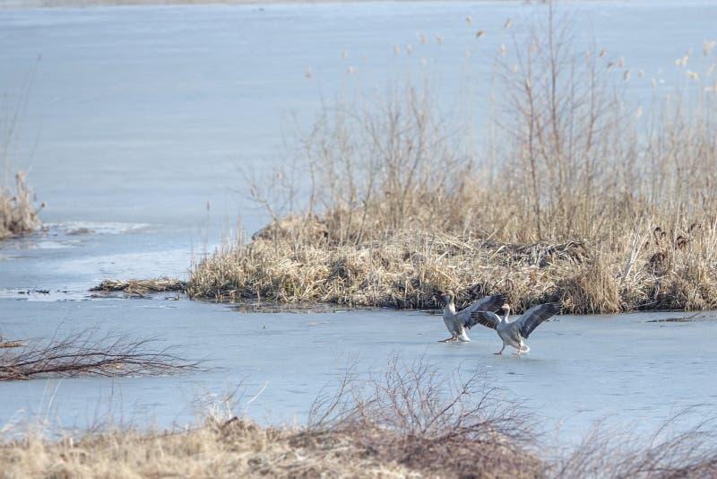 Twee greylag ganzendia rond op het ijs royalty-vrije stock afbeelding