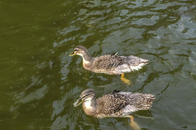 Twee grijze eenden zwemmen in donkergroen die water met rimpelingen in een kunstmatige vijver wordt behandeld stock foto's