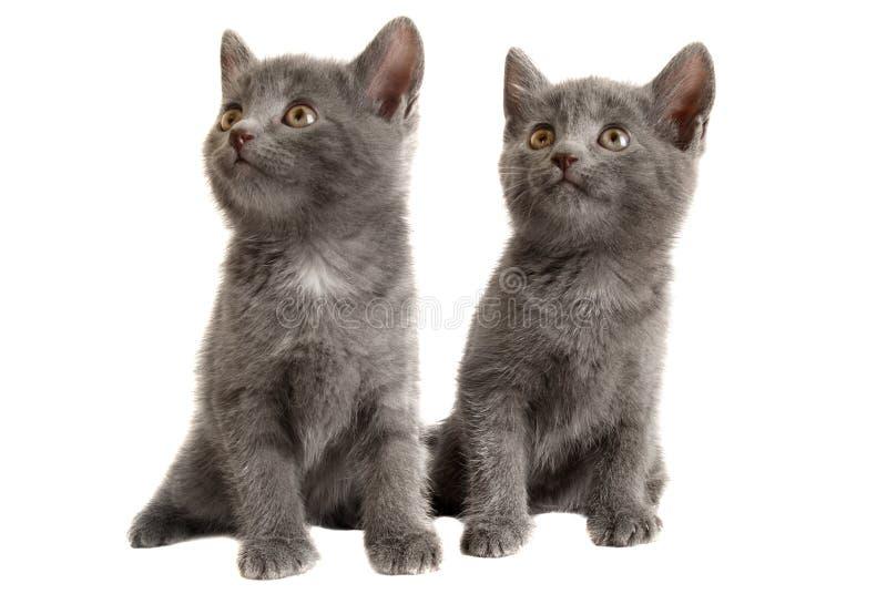 Twee Grijze Katjes op Witte Achtergrond royalty-vrije stock fotografie