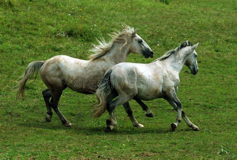 Twee grijze paarden stock foto's