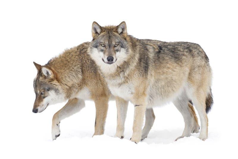 Twee Grijze wolven stock afbeelding