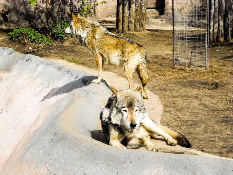 Twee grijze wolven bij de dierentuin royalty-vrije stock afbeelding