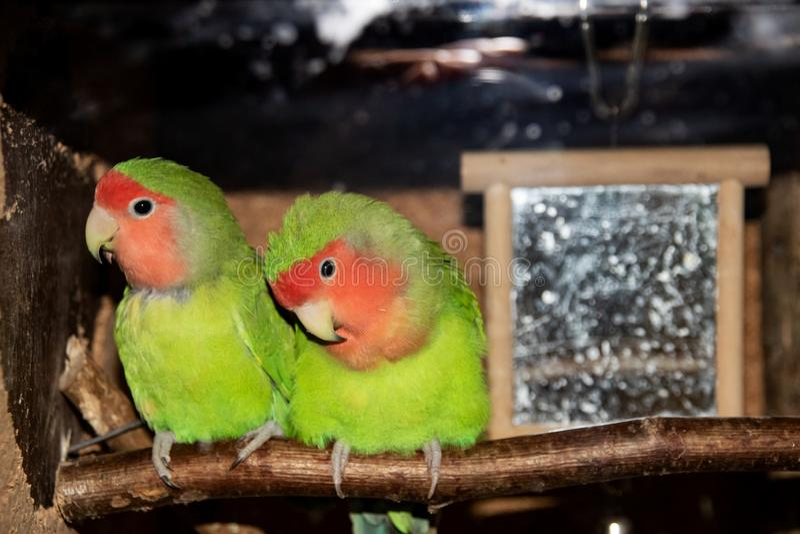 Twee groene papegaaien zitten op een tak in een kooi stock afbeeldingen