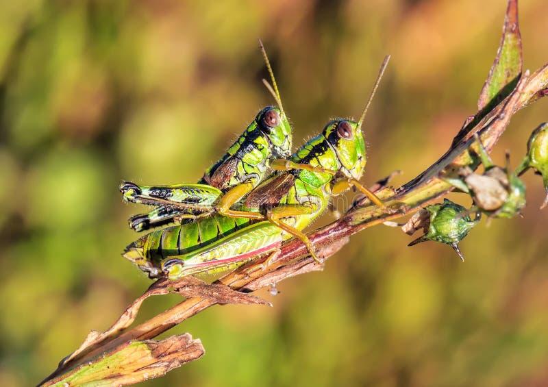 Twee groene sprinkhanen royalty-vrije stock afbeelding