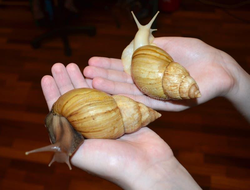 Twee grote Achatina-slakken stock foto