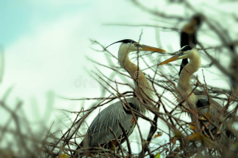 Twee grote blauwe Reigers in het fokkengevederte in nest stock afbeelding