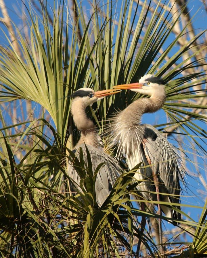 Twee Grote blauwe reigers in nest stock afbeeldingen