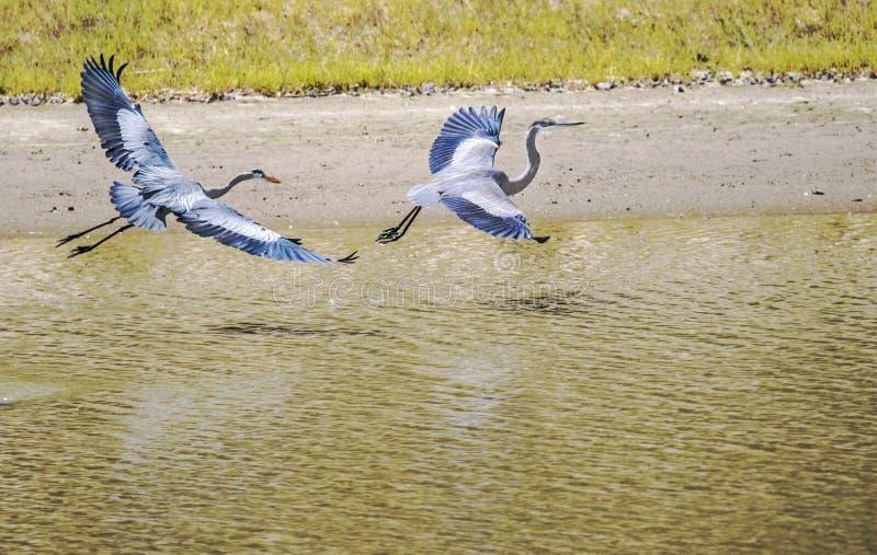 Twee Grote Blauwe Reigers tijdens de vlucht royalty-vrije stock fotografie