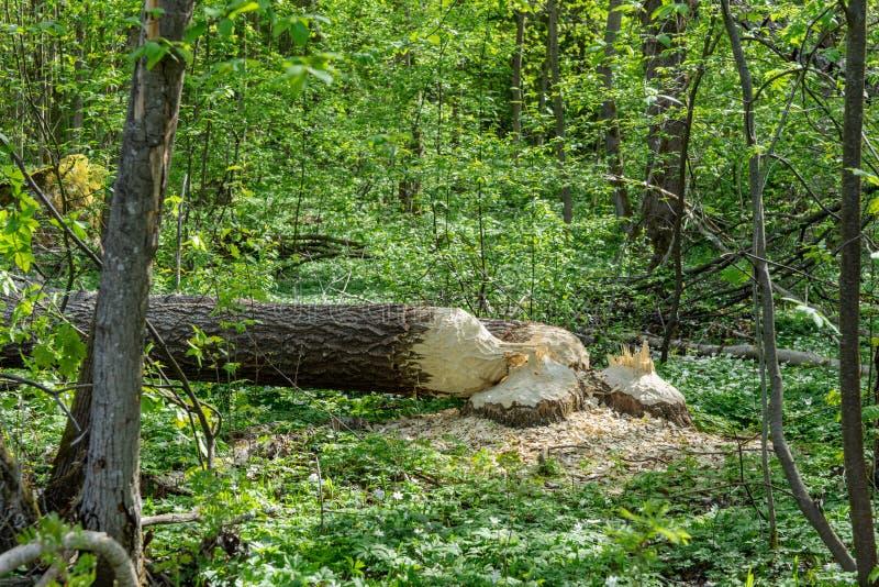 Twee grote die bomen door bevers worden verminderd stock fotografie