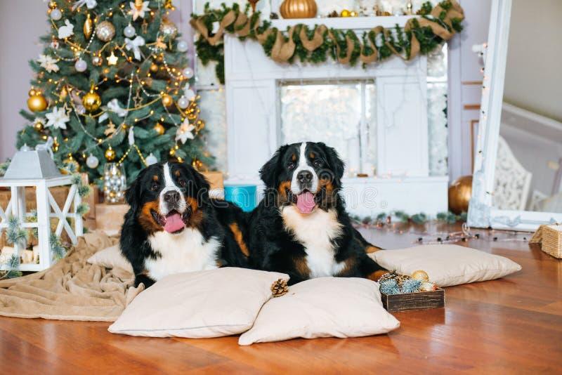 Twee grote honden liggen thuis door de open haard stock afbeeldingen