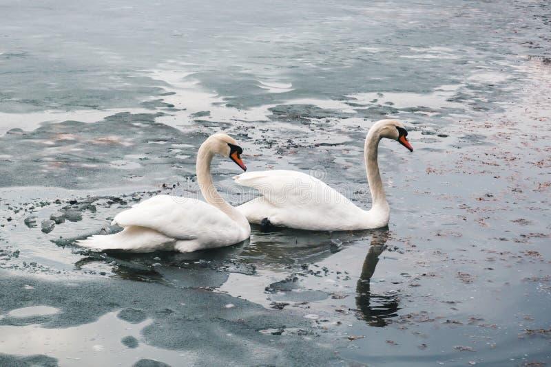 Twee grote mooie witte zwanen zwemmen op het meerdeel waarvan I stock afbeeldingen
