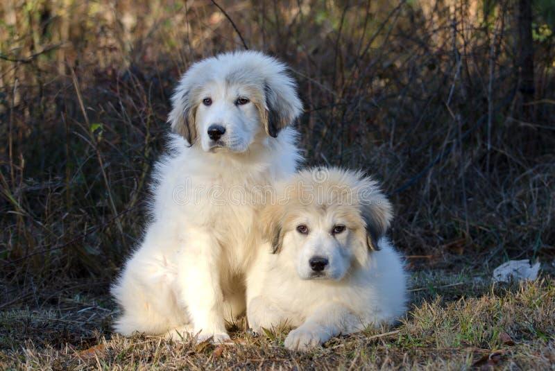 Twee Grote Puppy van de Pyreneeën stock afbeeldingen