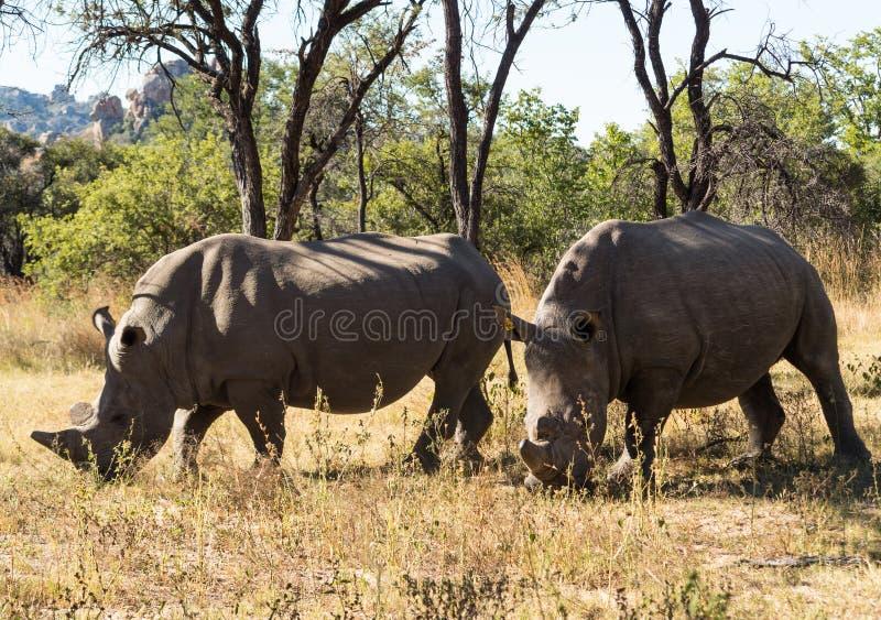 Twee grote rinocerossen die het gras in Zimbabwe weiden royalty-vrije stock foto's