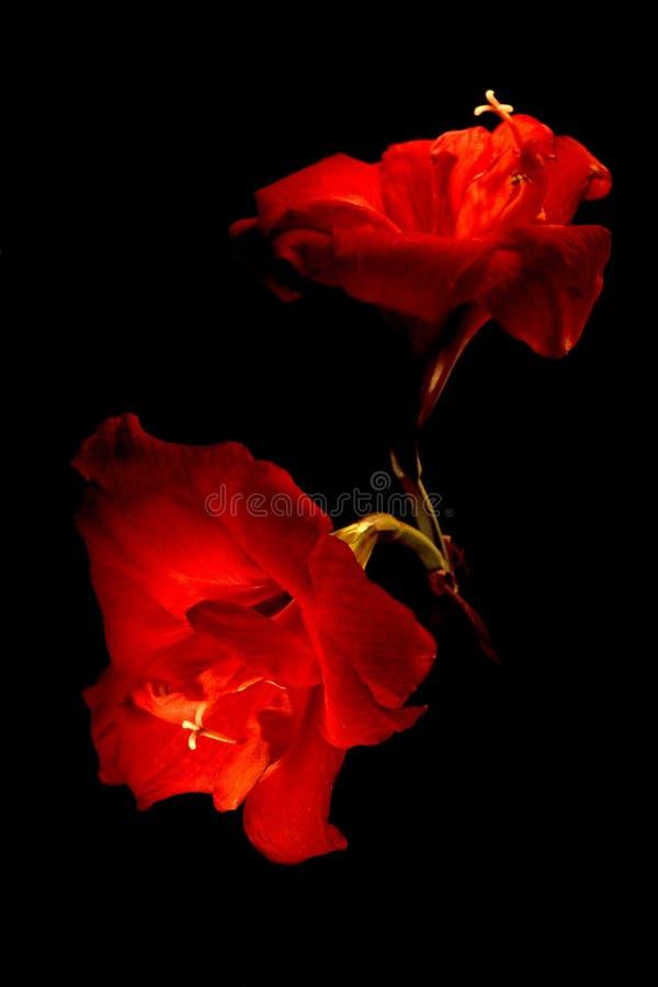 Twee grote rode bloemen die op zwarte worden geïsoleerdb stock foto