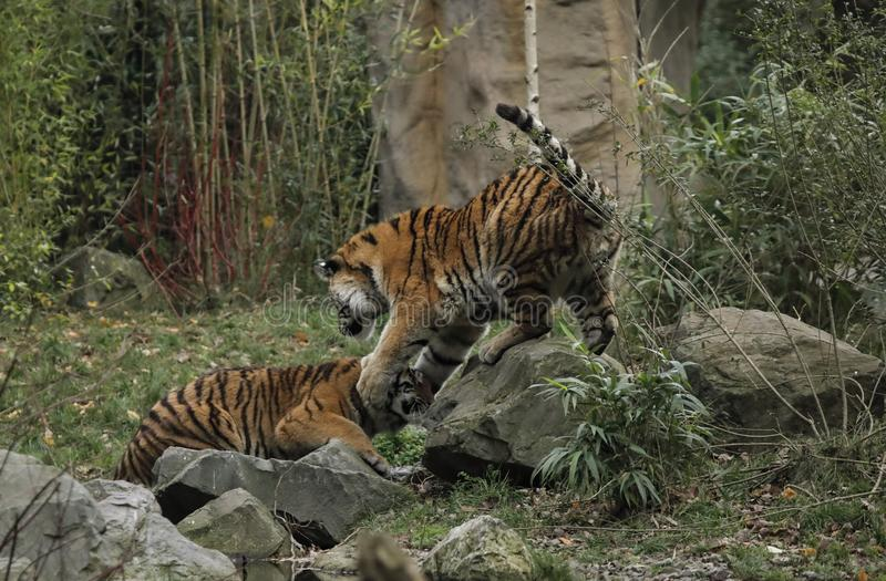 Twee grote tijgers vechten op de looppas in de zoölogische tuin royalty-vrije stock afbeeldingen