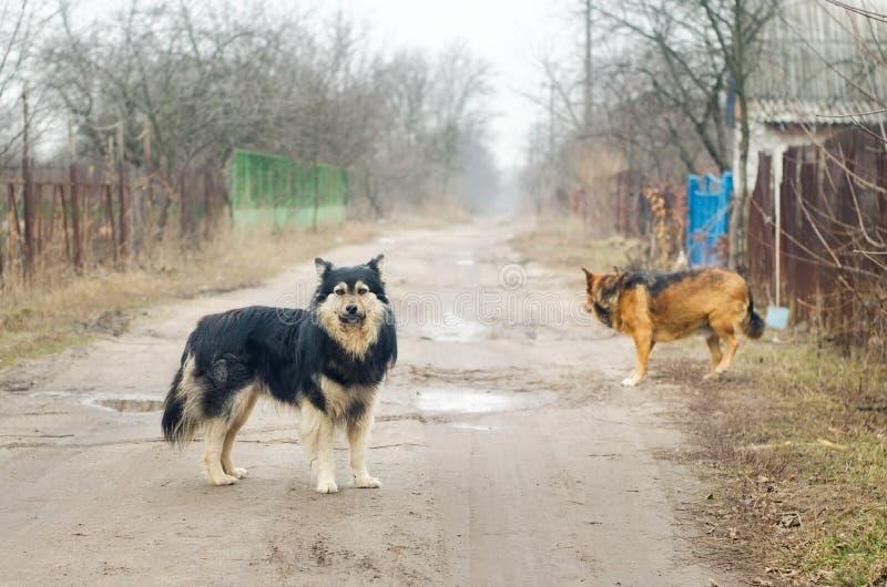 Twee grote verdwaalde hondentribune op een landweg stock afbeelding