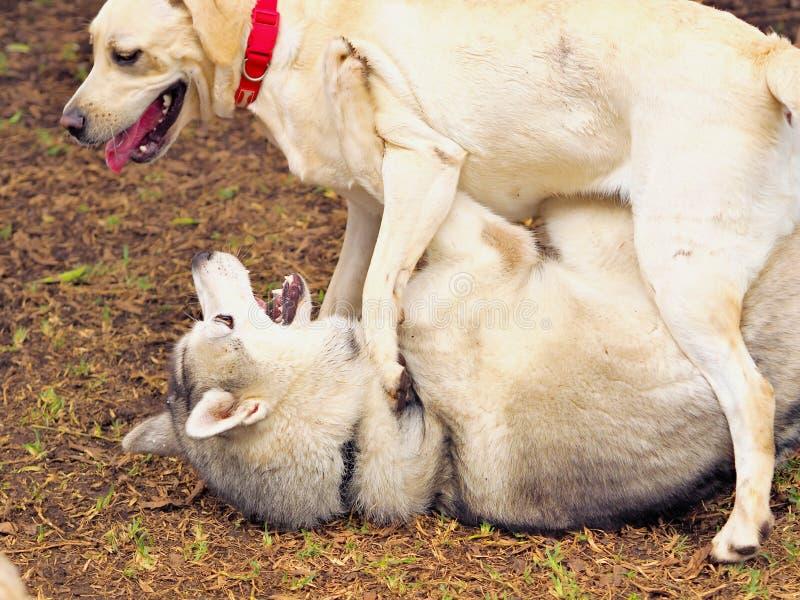 Twee grote witte honden in een vrij wild samen royalty-vrije stock foto