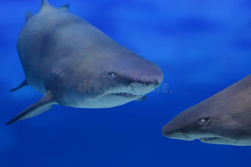 Twee haaien royalty-vrije stock foto's
