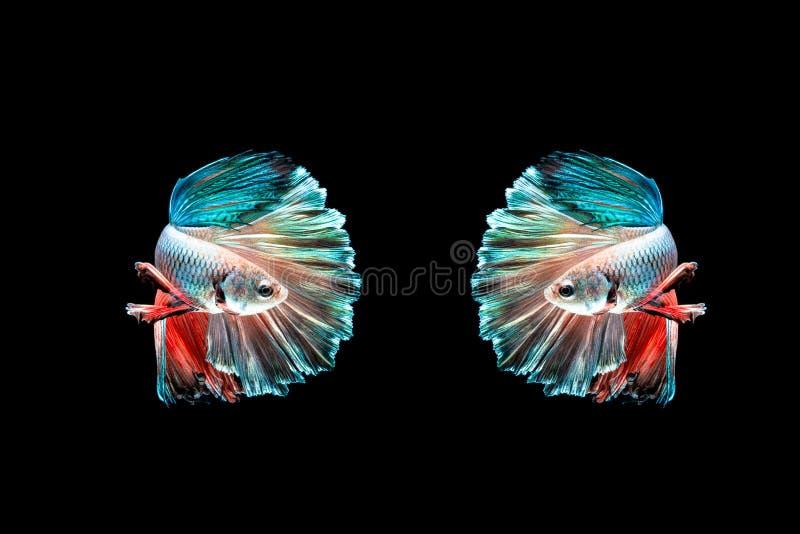 Twee halve mooie vissen van maanbetta Vang het bewegende ogenblik mooi van bettavissen van Siam in Thailand op zwarte achtergrond stock afbeeldingen