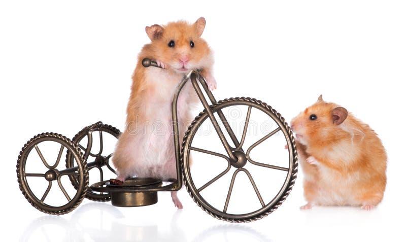 Twee hamsters met een fiets royalty-vrije stock afbeeldingen