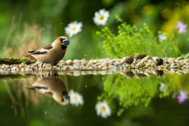 Twee hawfinchzitting op korstmoskust van watervijver in bos met mooie bokeh en bloemen op achtergrond, Duitsland, vogel reflecte stock foto