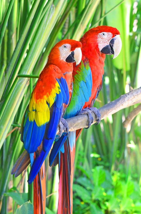 Twee heldere papegaaienaronskelken die op een boomtak zitten in de wildernis stock afbeelding