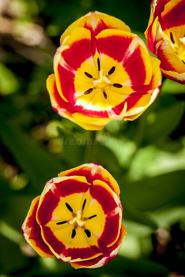Twee heldere rode en gele tulpen royalty-vrije stock foto's