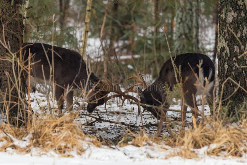Twee Hertenstrijd onder de Winterbomen Het bestrijden van Damherten Dama Dama in de Winter Twee Herten verdelen het Grondgebied W stock foto's